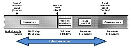 Stages of hepatitis A illness and length of each phase , text description follows
